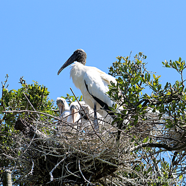 stork with nest