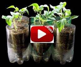 Video Cara Menanam Tomat Hidroponik Dengan Botol Plastik Bekas Air Mineral Dirumah