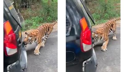 Harimau gigit bemper mobil di Taman Safari