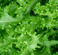 Αντίδια σπορά φύτεμα καλλιέργεια