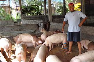 Ternak-Babi-Di-Bali