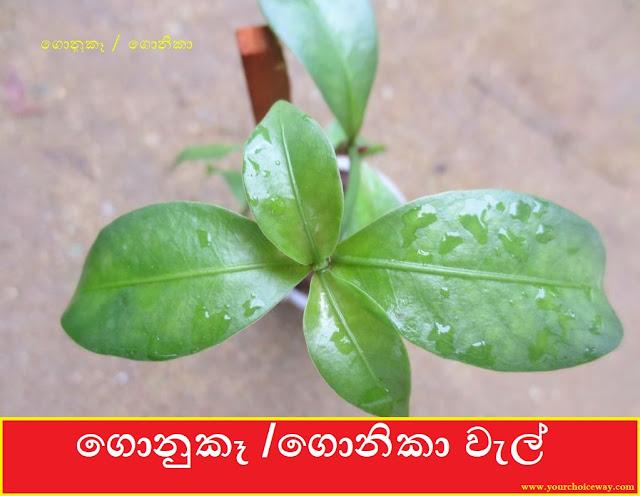 ගොනුකෑ  ගොනිකාගොනුකෑ / ගොනිකා වැල් [Gonuke / Gonika] (Psychotria Sarmentosa) - Your Choice Way වැල් [Gonuke  Gonika] (Psychotria Sarmentosa) - Your Choice Way