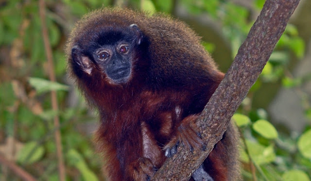 South American monkeys face climate change extinction threat