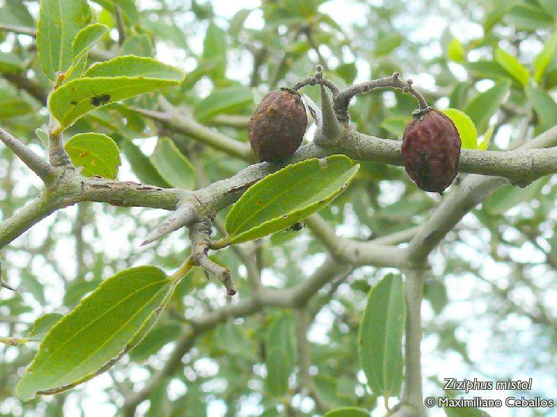 Argentina nativa: Mistol (Ziziphus mistol)