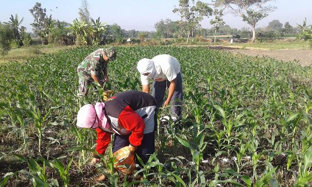 Babinsa Ceper Dampingi Petani Merawat Tanaman Jagung