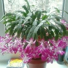 komnatnie-cveti-dekabrist (4)
