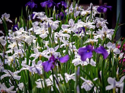 Hana-shobu (Iris ensata var. ensata) flowers: Kaizo-ji