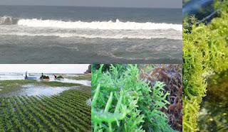 SMK Jurusan Agribisnis Rumput Laut