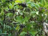 Blue-black fruit - Ho'omaluhia Botanical Garden, Kaneohe, HI