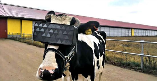 Rússia testa óculos de realidade virtual em vacas - adivinha o motivo?