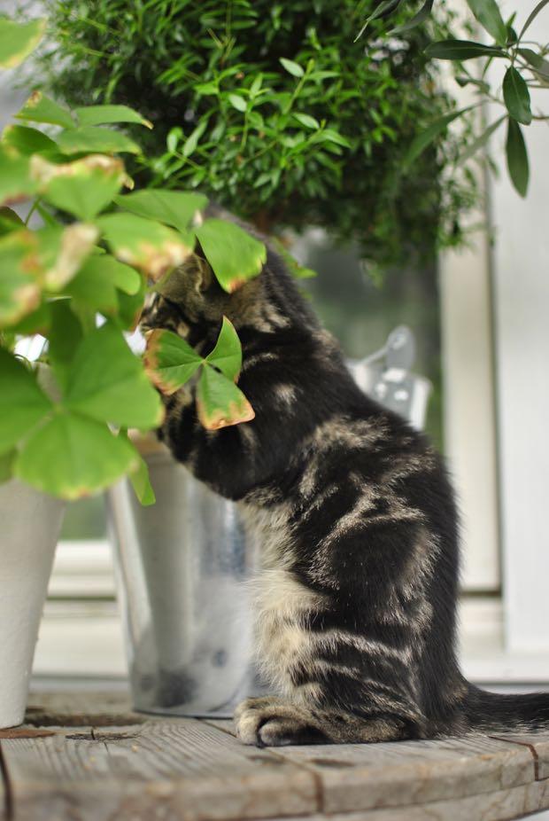 tigrerad kattunge hannashantverk.blogspot.se