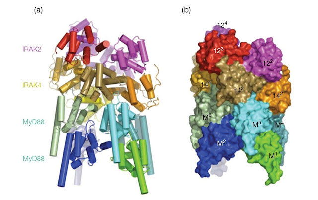 Myddosome structure.