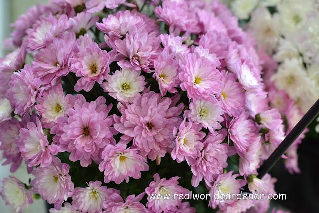 1-Chrysanthemum%2Bmultiflora1.JPG