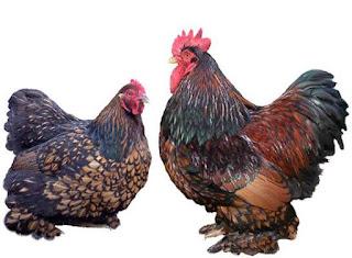 Cara Budidaya Ternak Ayam Cochin
