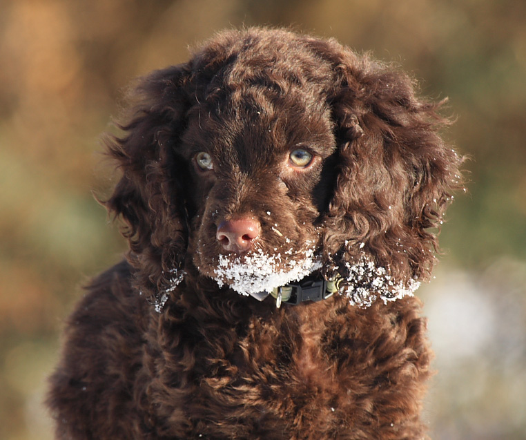 Everything about your American Water Spaniel - LUV My dogs American Water Spaniel Dogtime