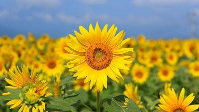 Sunflower Field Summer HD wallpaper free