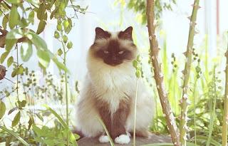 قط الراغدول ملك جمال القطط