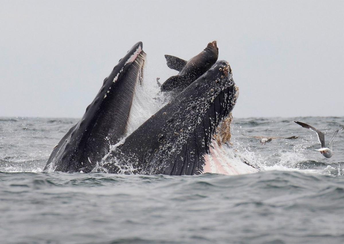 This handout picture released on July 30, 2019, shows a sea lion accidentally caught in the mouth of a humpback whale in Monterey Bay, California.