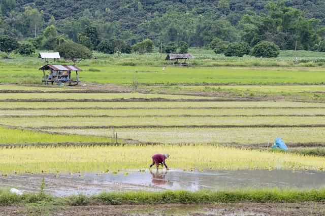 Paesaggi e risaie tra Chiang Rai e Chiang Mai