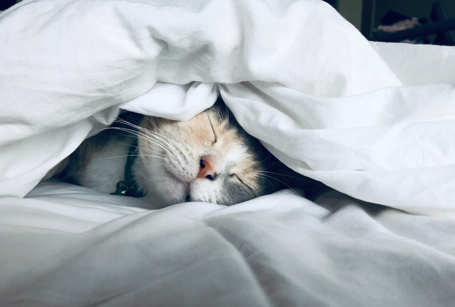 Cat asleep under a duvet