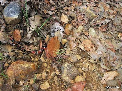Coralillo o serpiente de coral (¿Micrurus tener?)