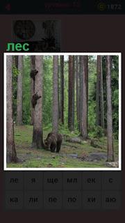 медведи на дереве и просто гуляют в лесу