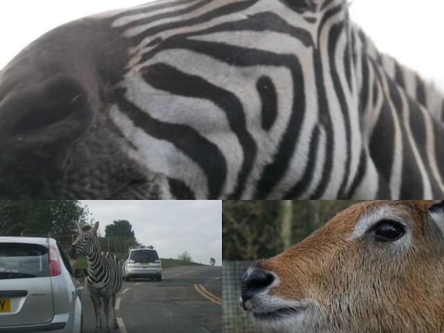 West Midlands Safari Park zebra deer