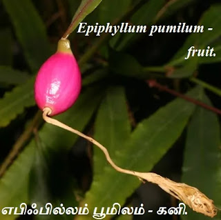 Epiphyllum pumilum fruit