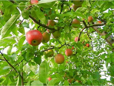The-Apple-Farm-of-Himachal-Pradesh.
