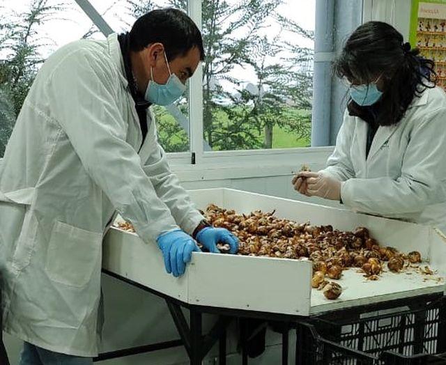 Exportaciones de bulbos de flores
