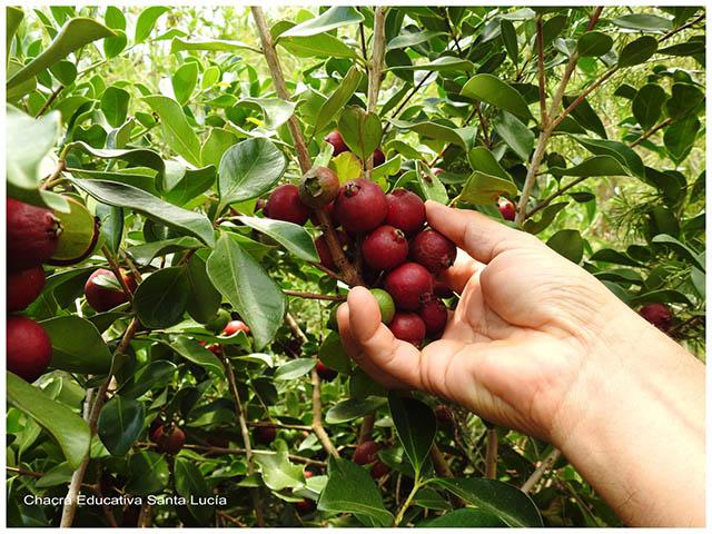 Frutos de arazá -Chacra Educativa Santa Lucía