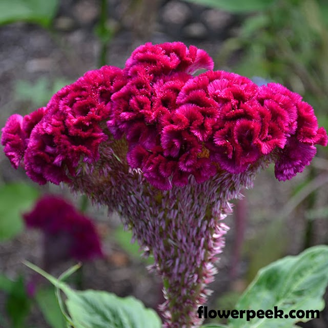 Steps on how to care for Pink Cockscomb plant