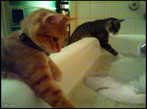 Photoshopped Cat picture • OMG! There is a ferocious shark in the bathtub but 2 innocent cats don't see it!