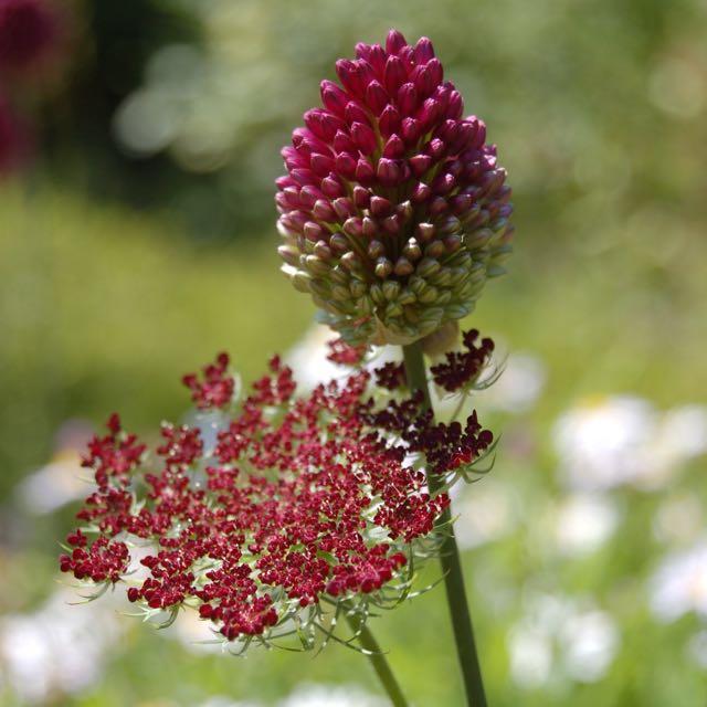 Allium sphaerocephalon and Daucus carota