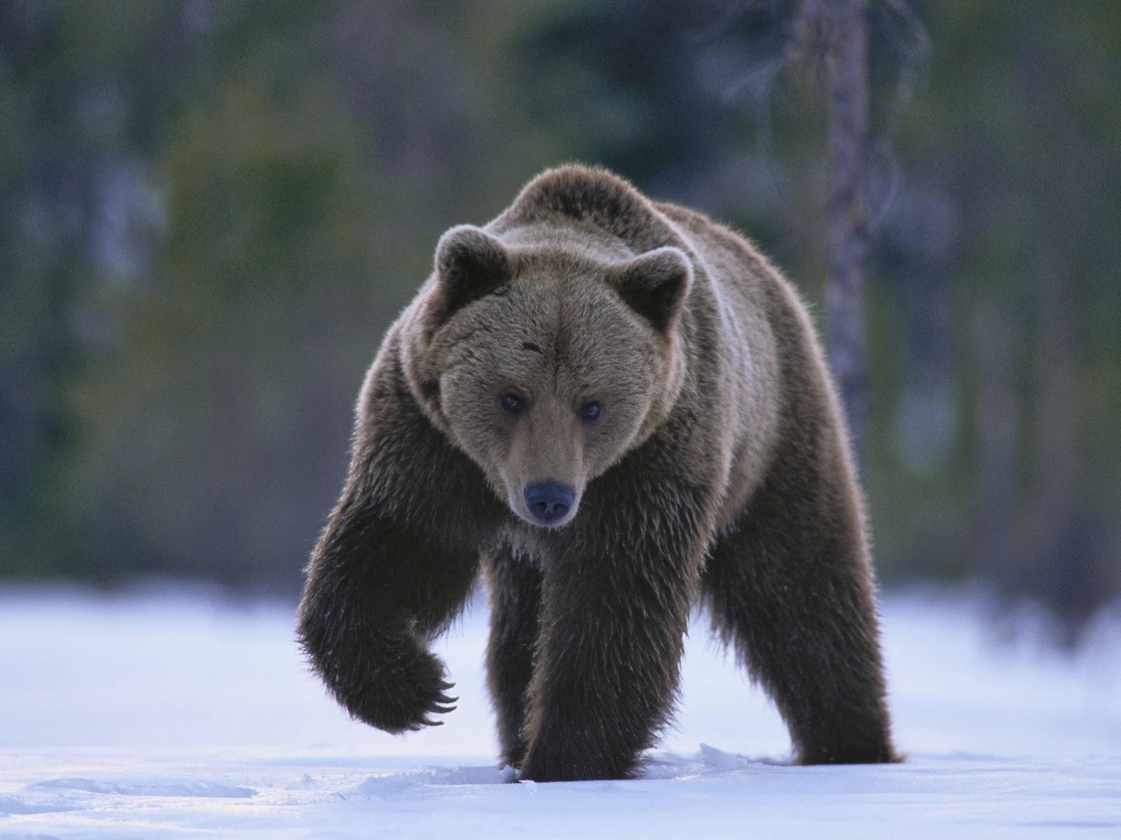 Gambar Kartun Beruang El Keren