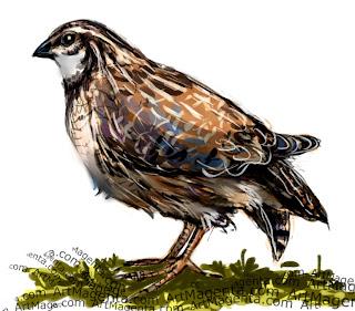 Quail sketch painting. Bird art drawing by illustrator Artmagenta.