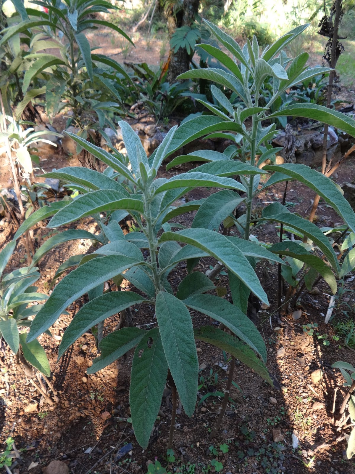 Herbs from Distant Lands: Blumea balsamifera - Ngai Camphor
