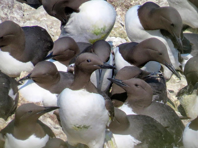 Day trip to Ireland's Eye Island - guillemots on a rock
