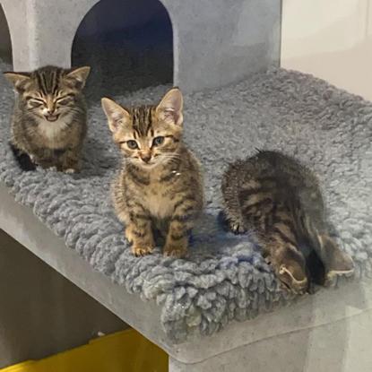 Three tabby kittens in a cat pen