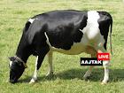 OMG: यह है 9600 लीटर दूध देने वाली दुनिया की सबसे महंगी गाय