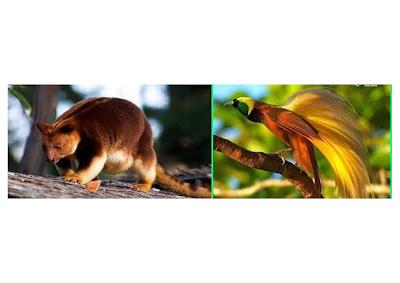 kanguru pohon mantel emas dan cendrawasih