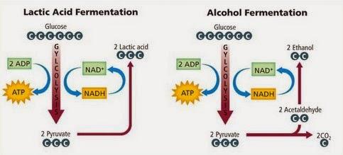 Diagram fermentasi asam laktat dan fermentasi alkohol