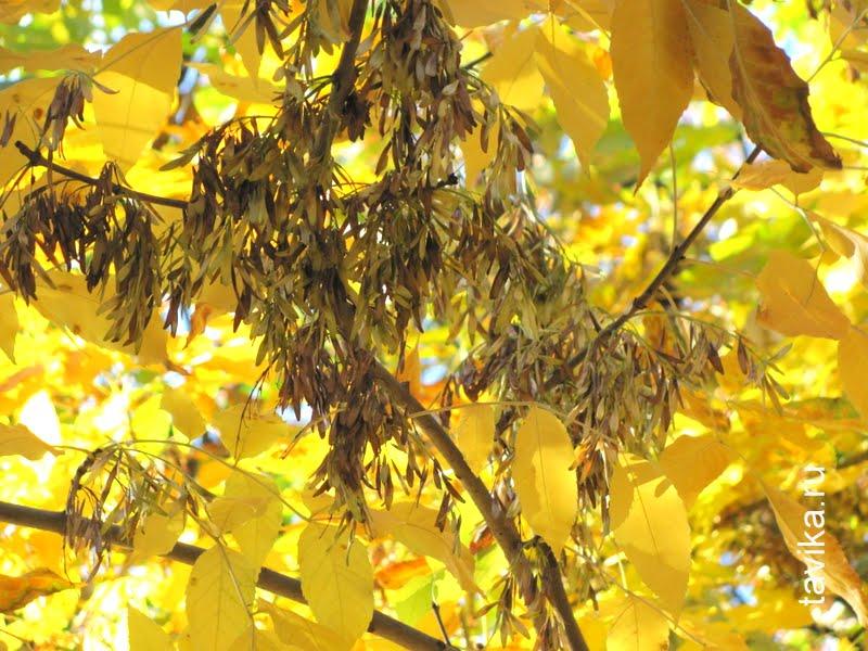 ясень с семенами