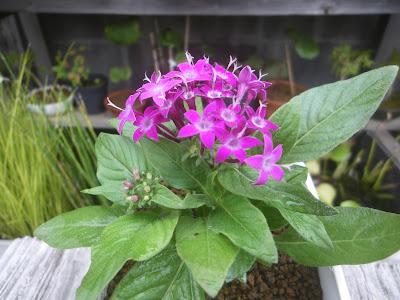 ペンタス 花