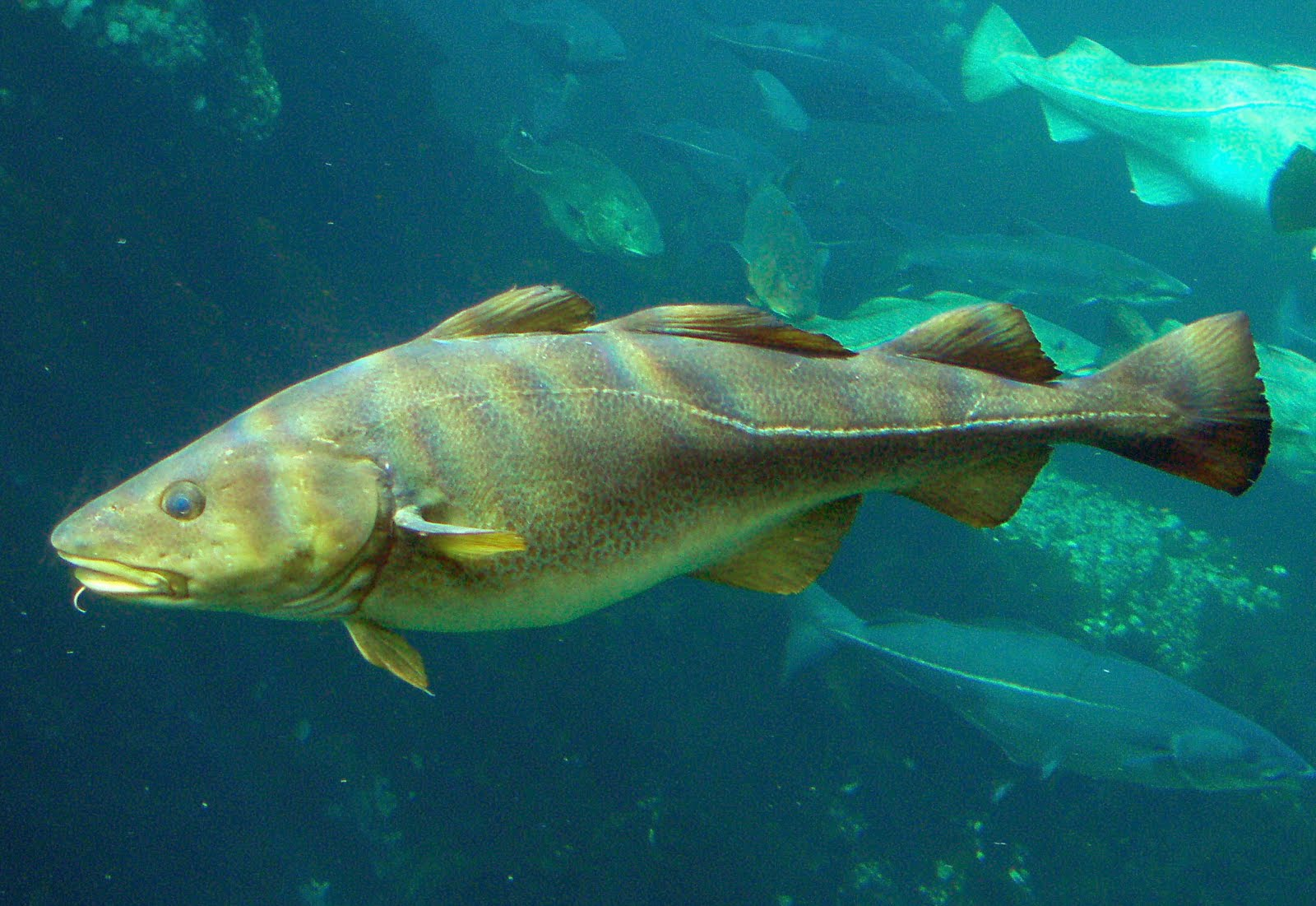 DEEP BLUE HOME: AT LAST, SOME GOOD NEWS FOR ATLANTIC COD