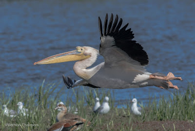 Great White Pelican taking flight - Woodbridge Island, Cape Town