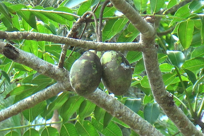 Dlium English plum (Spondias dulcis)