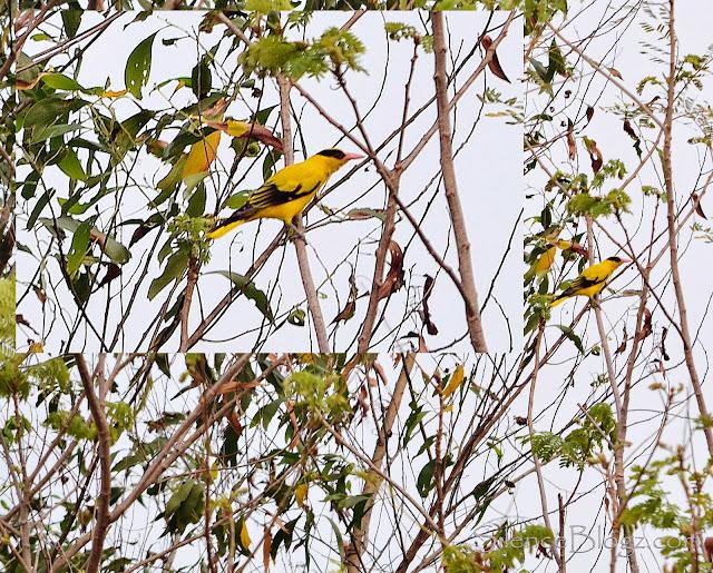 Black Naped Oriole - birding activity majlis daerah hulu selangor