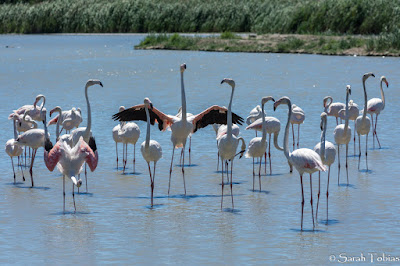 Pink Flamingos in the Camargue France