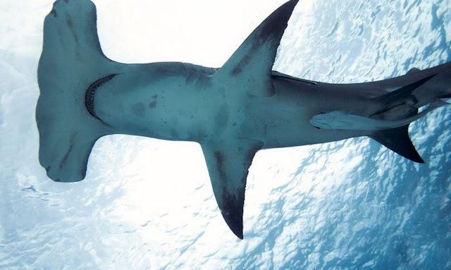 Espécie rara de tubarão-martelo é avistada no litoral da Paraíba